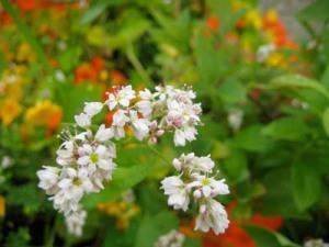 Buckwheat plant